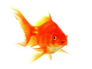 goldfish macro isolated on white background showing pet or animal concept